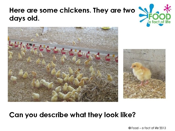 Here are some chickens. They are two days old. Can you describe what they