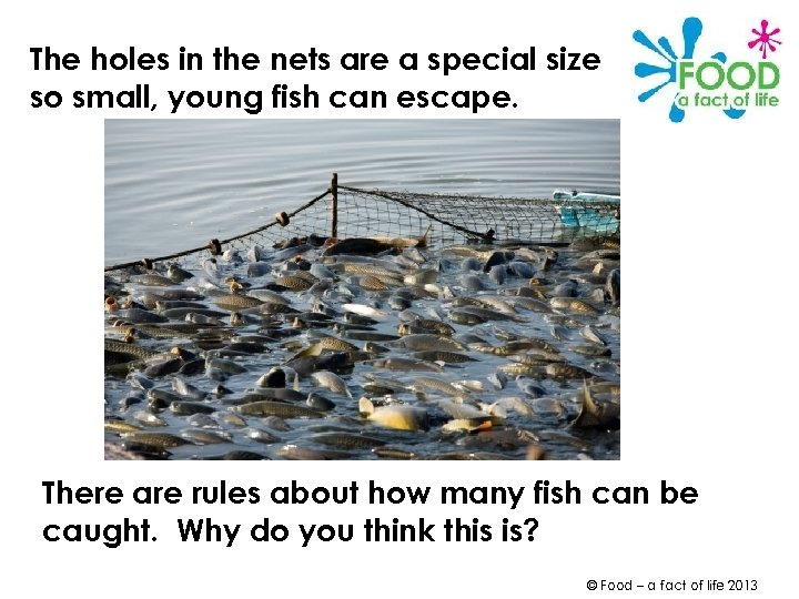 The holes in the nets are a special size so small, young fish can