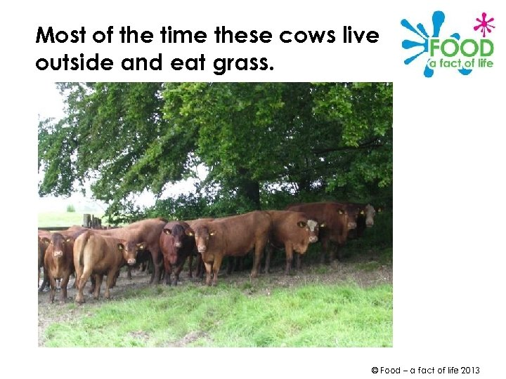 Most of the time these cows live outside and eat grass. © Food –