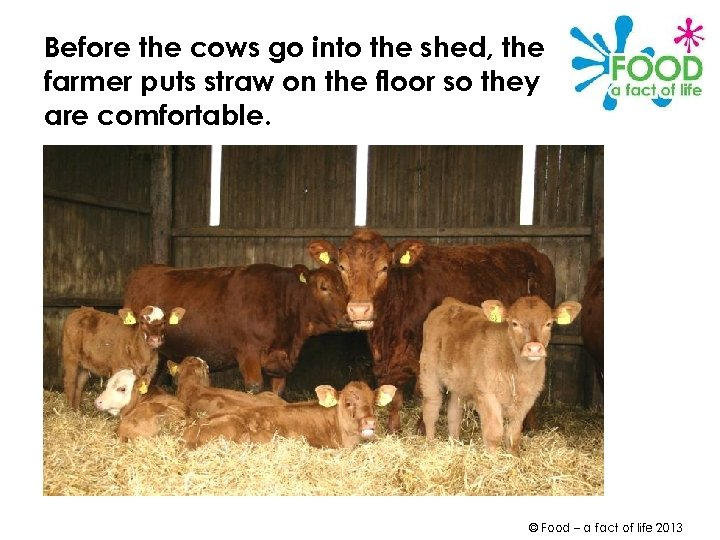 Before the cows go into the shed, the farmer puts straw on the floor