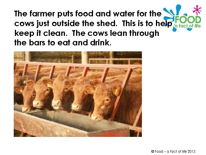 The farmer puts food and water for the cows just outside the shed. This