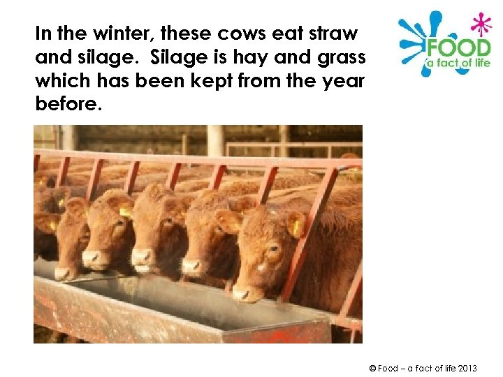 In the winter, these cows eat straw and silage. Silage is hay and grass