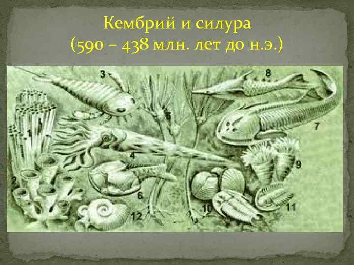 Кембрий и силура (590 – 438 млн. лет до н. э. )