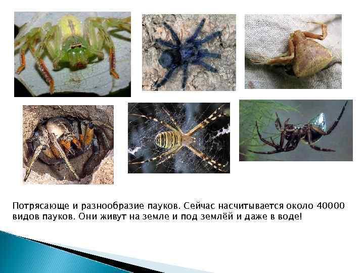 Потрясающе и разнообразие пауков. Сейчас насчитывается около 40000 видов пауков. Они живут на земле