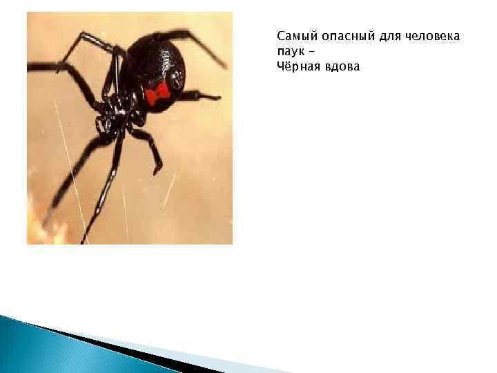 Самый опасный для человека паук – Чёрная вдова