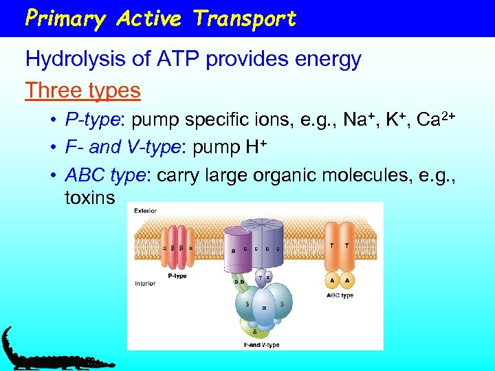Primary Active Transport Hydrolysis of ATP provides energy Three types • P-type: pump specific
