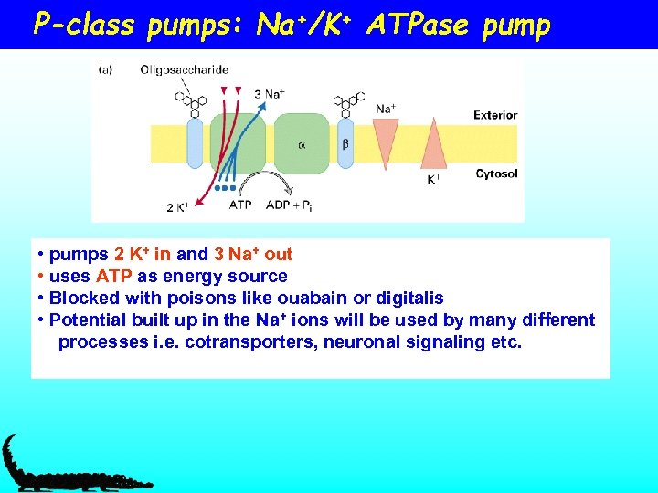 P-class pumps: Na+/K+ ATPase pump • pumps 2 K+ in and 3 Na+ out