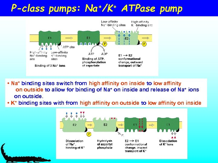 P-class pumps: Na+/K+ ATPase pump • Na+ binding sites switch from high affinity on