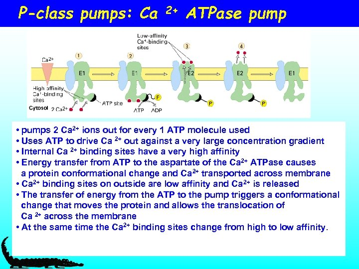 P-class pumps: Ca 2+ ATPase pump • pumps 2 Ca 2+ ions out for