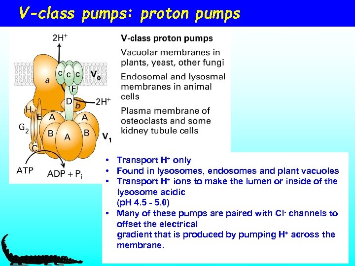 V-class pumps: proton pumps • Transport H+ only • Found in lysosomes, endosomes and