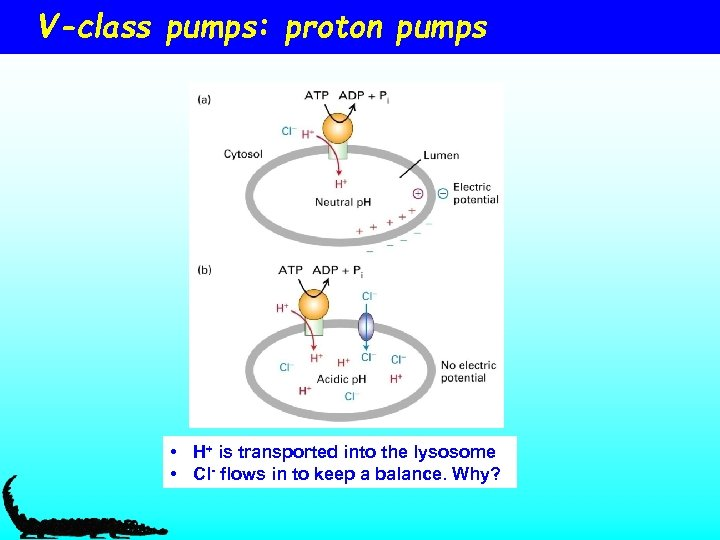 V-class pumps: proton pumps • H+ is transported into the lysosome • Cl- flows