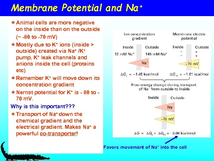 Membrane Potential and Na+ ¬ Animal cells are more negative on the inside than