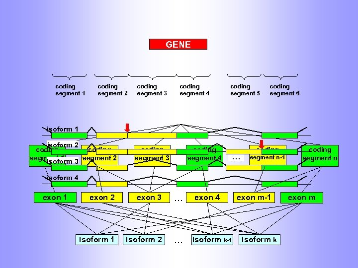 GENE coding segment 1 coding segment 2 coding segment 3 coding segment 4 coding