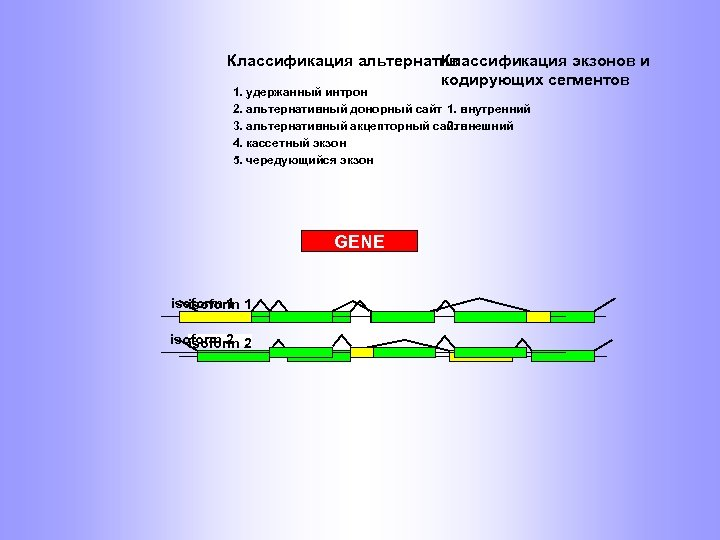 Классификация альтернатив Классификация экзонов и кодирующих сегментов 1. удержанный интрон 2. альтернативный донорный сайт