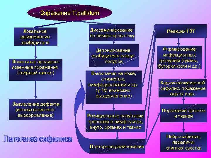 Заражение T. pallidum Локальное размножение возбудителя Локальные эрозивноязвенные поражения (твердый шанкр) Заживление дефекта (иногда