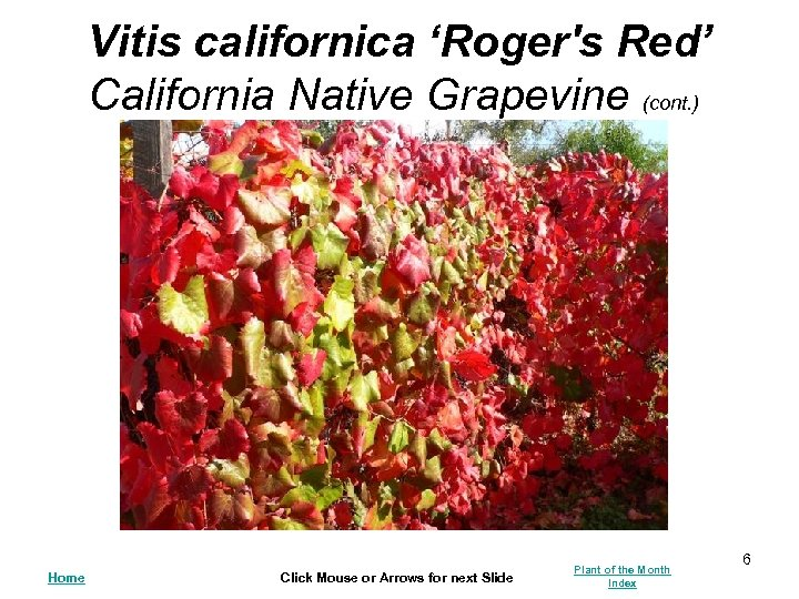 Vitis californica 'Roger's Red' California Native Grapevine (cont. ) Home Click Mouse or Arrows