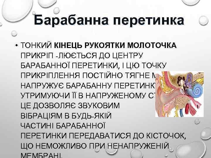 Барабанна перетинка • ТОНКИЙ КІНЕЦЬ РУКОЯТКИ МОЛОТОЧКА ПРИКРІП -ЛЮЄТЬСЯ ДО ЦЕНТРУ БАРАБАННОЇ ПЕРЕТИНКИ, І
