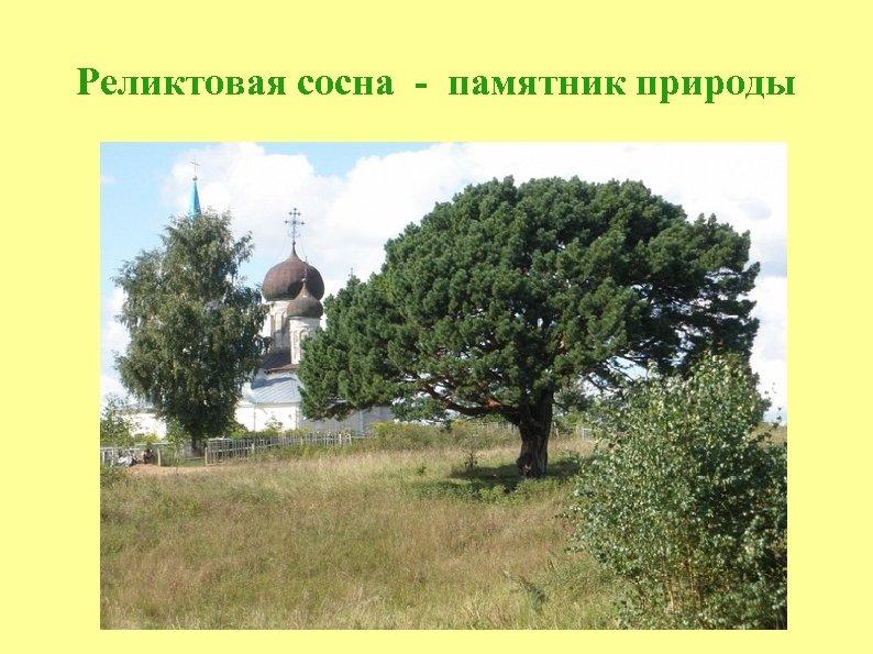Реликтовая сосна - памятник природы