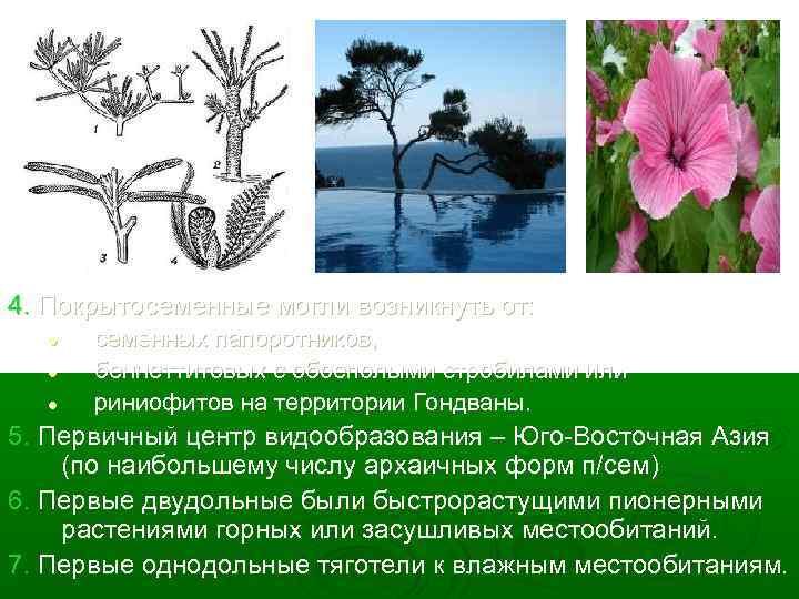 4. Покрытосеменные могли возникнуть от: l l l семенных папоротников, беннеттитовых с обоеполыми стробилами
