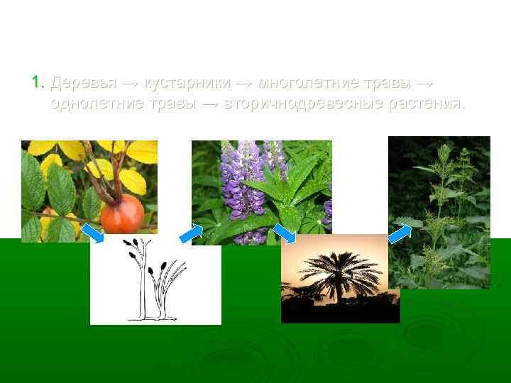1. Деревья → кустарники → многолетние травы → однолетние травы → вторичнодревесные растения.