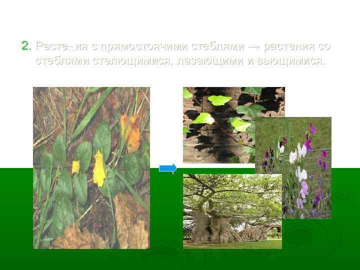 2. Растения с прямостоячими стеблями → растения со стеблями стелющимися, лазающими и вьющимися.