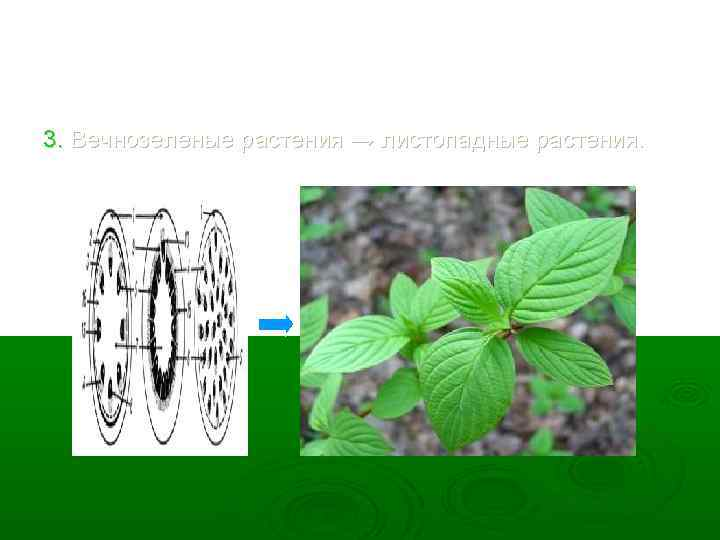 3. Вечнозеленые растения → листопадные растения.
