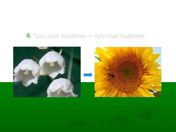 6. Сложные соцветия → простые соцветия.