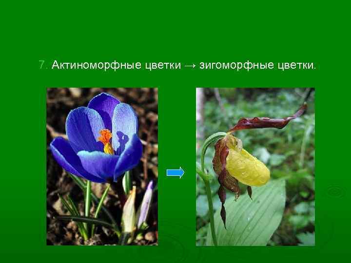 7. Актиноморфные цветки → зигоморфные цветки.