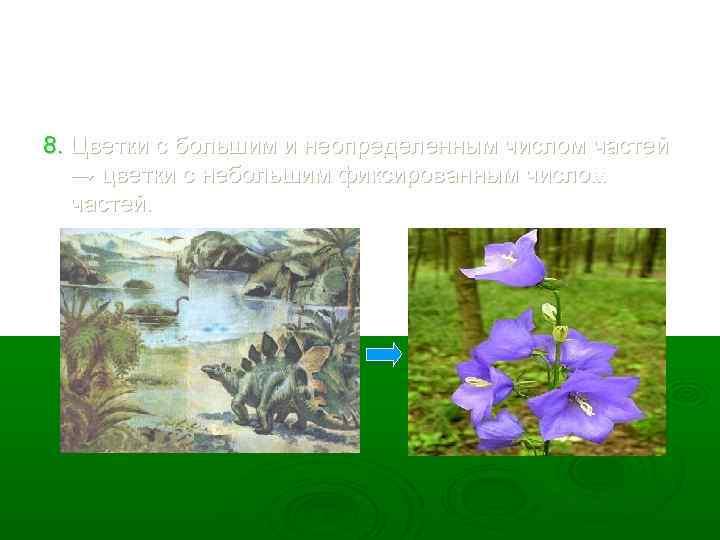 8. Цветки с большим и неопределенным числом частей → цветки с небольшим фиксированным числом