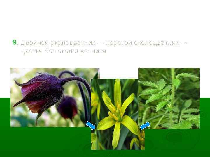 9. Двойной околоцветник → простой околоцветник → цветки без околоцветника.