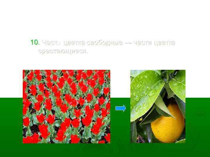 10. Части цветка свободные → части цветка срастающиеся.