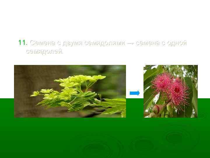 11. Семена с двумя семядолями → семена с одной семядолей.