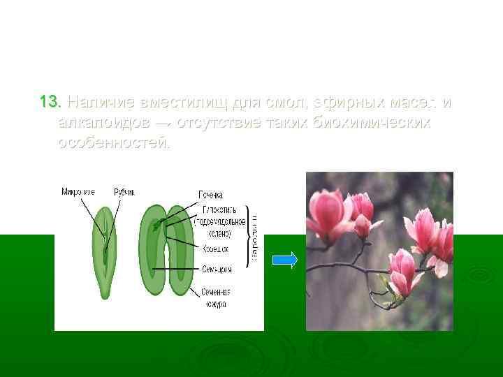 13. Наличие вместилищ для смол, эфирных масел и алкалоидов → отсутствие таких биохимических особенностей.