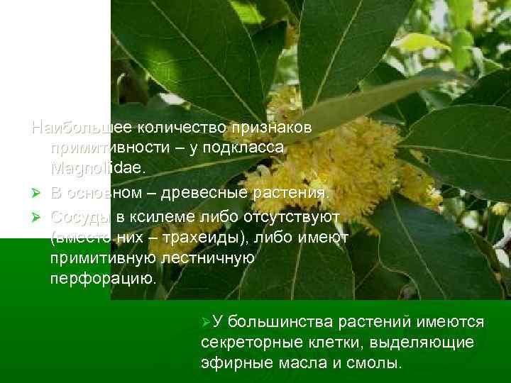 Наибольшее количество признаков примитивности – у подкласса Magnoliidae. Ø В основном – древесные растения.
