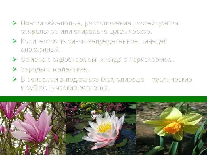 Ø Ø Ø Цветки обоеполые, расположение частей цветка спиральное или спирально-циклическое. Количество тычинок непределенное,