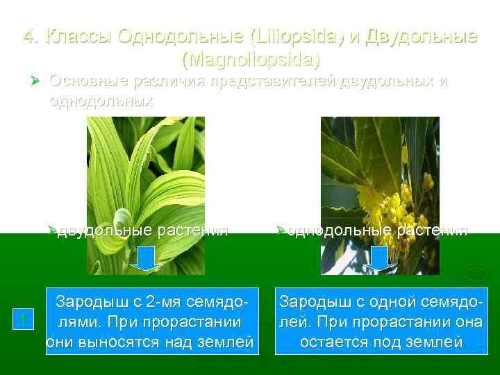 4. Классы Однодольные (Liliopsida) и Двудольные (Magnoliopsida) Ø Основные различия представителей двудольных и однодольных