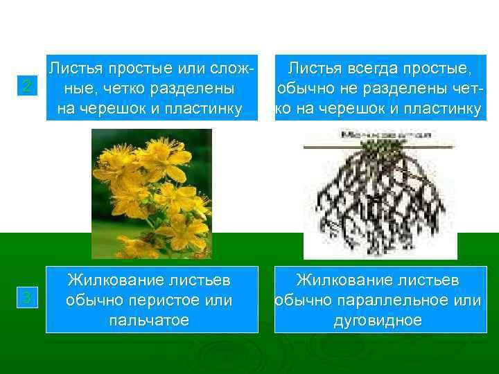 2 Листья простые или сложные, четко разделены на черешок и пластинку Листья всегда простые,