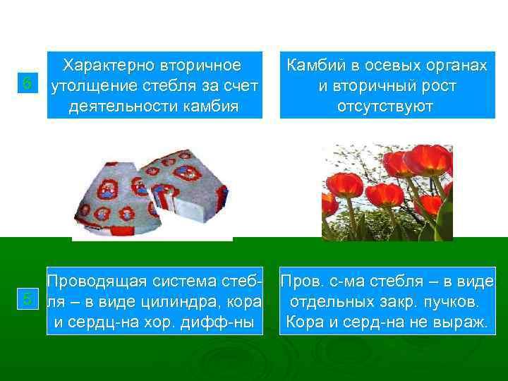 6 Характерно вторичное утолщение стебля за счет деятельности камбия Проводящая система стеб 5 ля