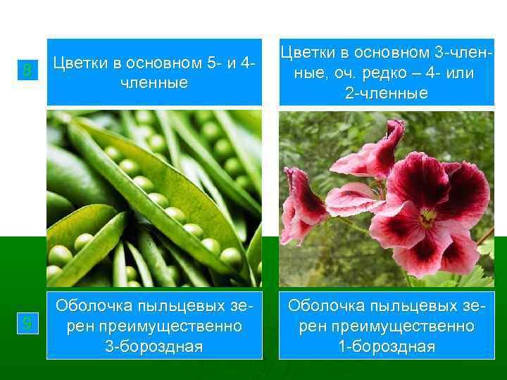 8 Цветки в основном 5 - и 4 членные Цветки в основном 3 -членные,