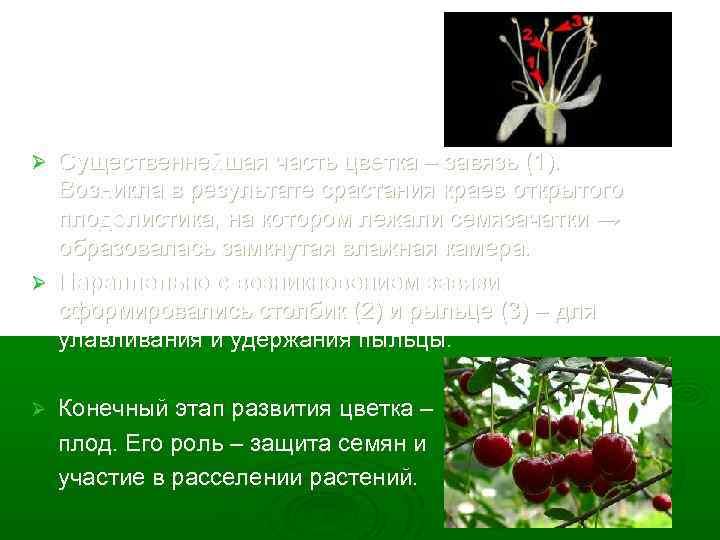 Существеннейшая часть цветка – завязь (1). Возникла в результате срастания краев открытого плодолистика, на