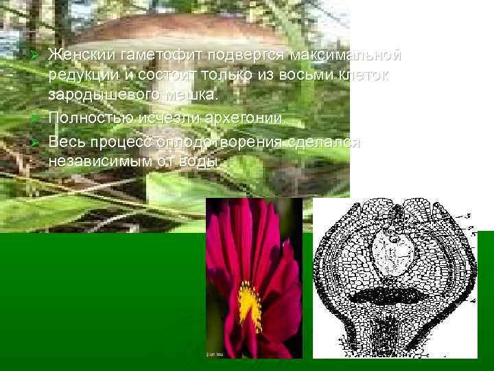 Женский гаметофит подвергся максимальной редукции и состоит только из восьми клеток зародышевого мешка. Ø