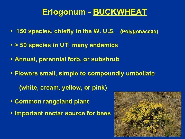 Eriogonum - BUCKWHEAT • 150 species, chiefly in the W. U. S. (Polygonaceae) •