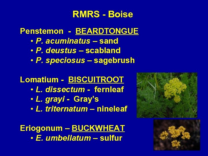 RMRS - Boise Penstemon - BEARDTONGUE • P. acuminatus – sand • P. deustus