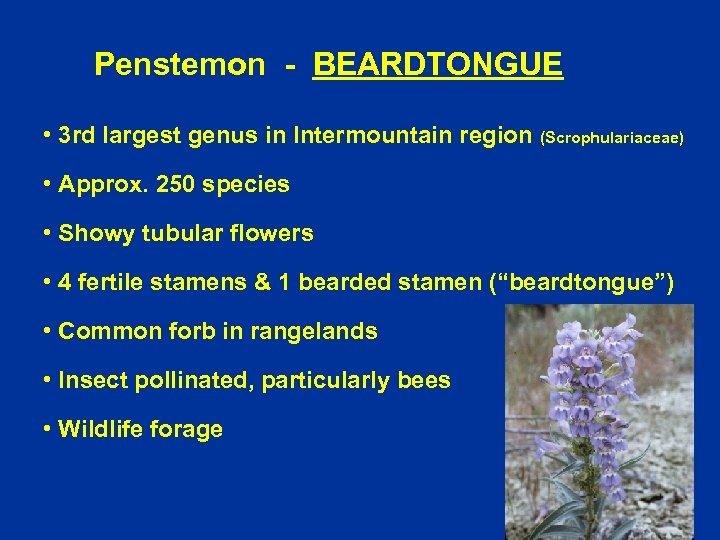 Penstemon - BEARDTONGUE • 3 rd largest genus in Intermountain region (Scrophulariaceae) • Approx.