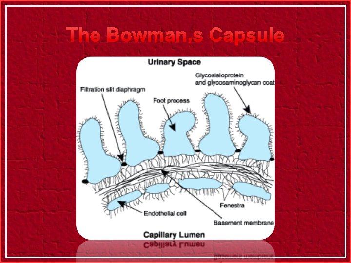 The Bowman's Capsule