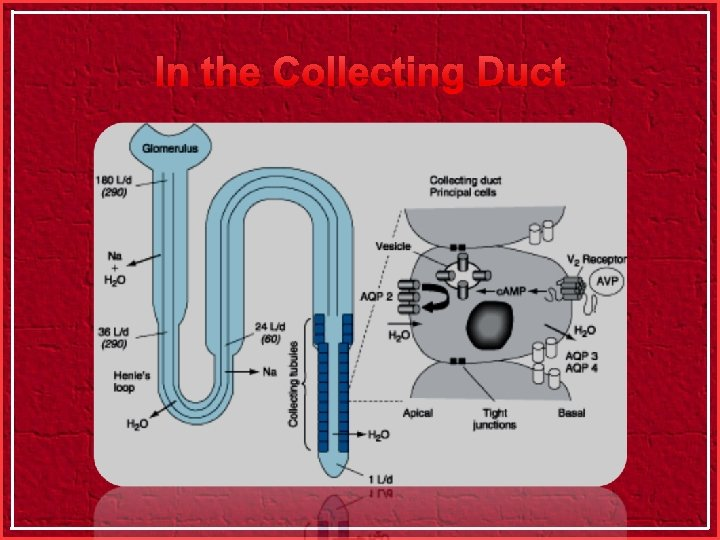 In the Collecting Duct