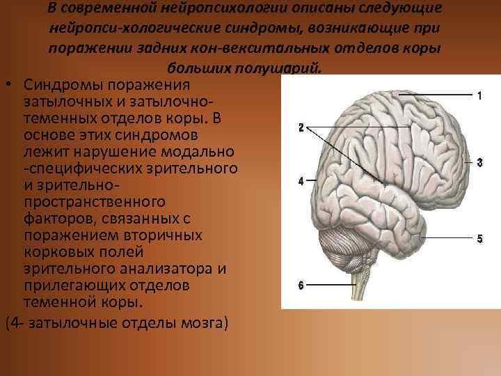 В современной нейропсихологии описаны следующие нейропси-хологические синдромы, возникающие при поражении задних кон-векситальных отделов коры