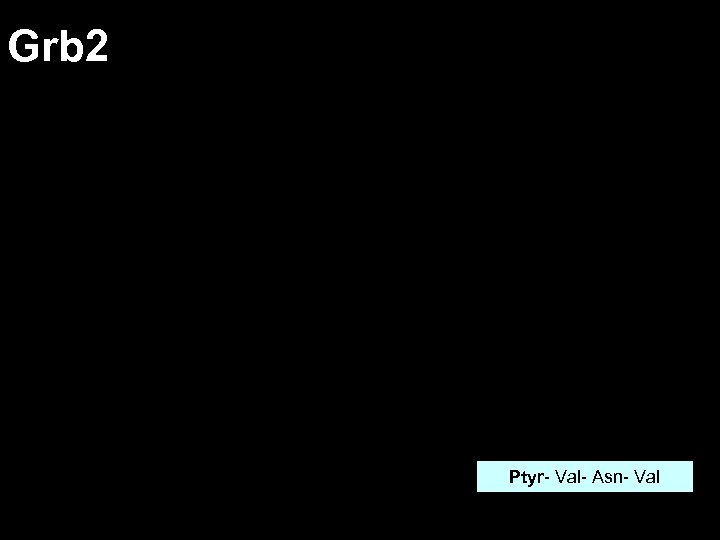 Grb 2 Ptyr- Val- Asn- Val