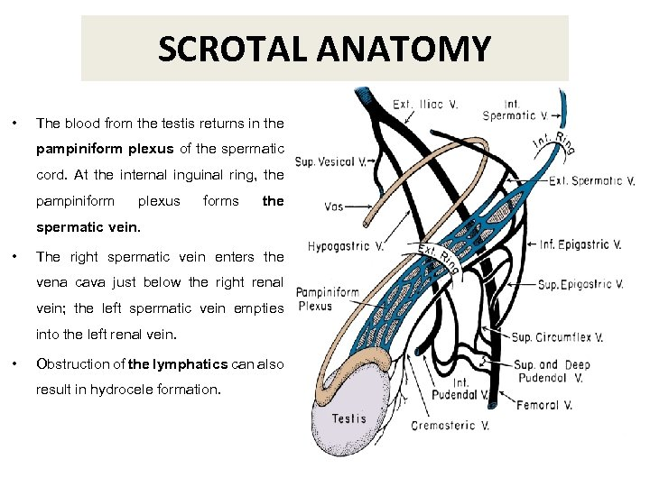 SCROTAL ANATOMY • The blood from the testis returns in the pampiniform plexus of