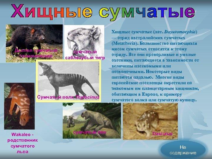Дьявол сумчатый тасманийский сумчатый саблезубый тигр Сумчатый волк Thylacinus Wakaleo родственник сумчатого льва сумчатый